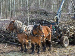 Arbetshästar i skogen