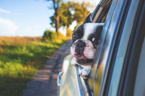 Hund åker bil